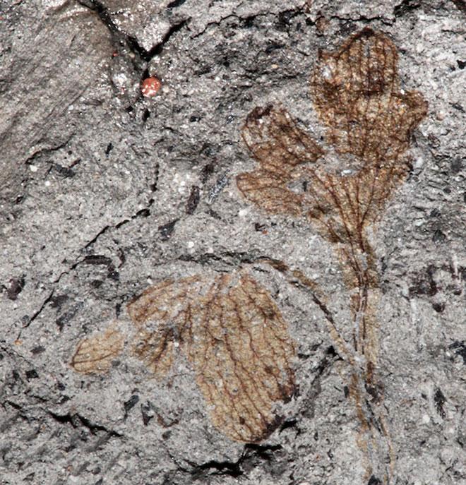 Floare fosilizata