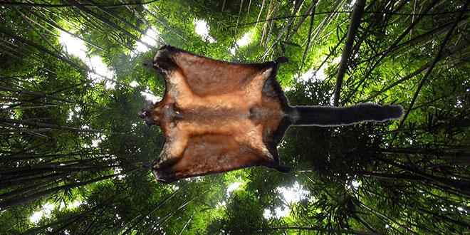 veverița zburătoare gigantică din Laos