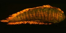 Soleichthys heterorhinos