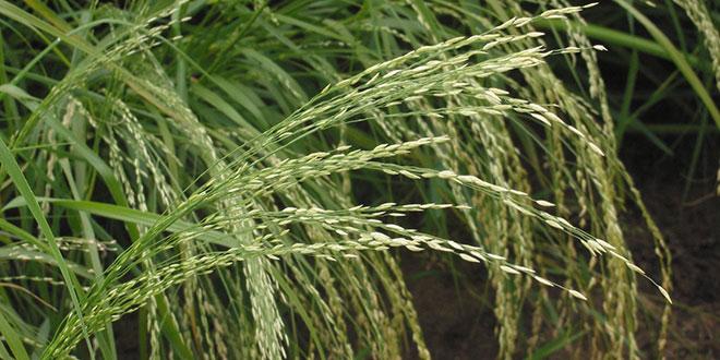 Eragrostis tef