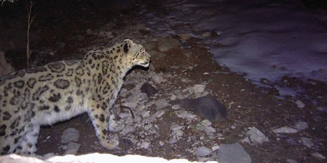 snow leopard / leopardul zapezilor