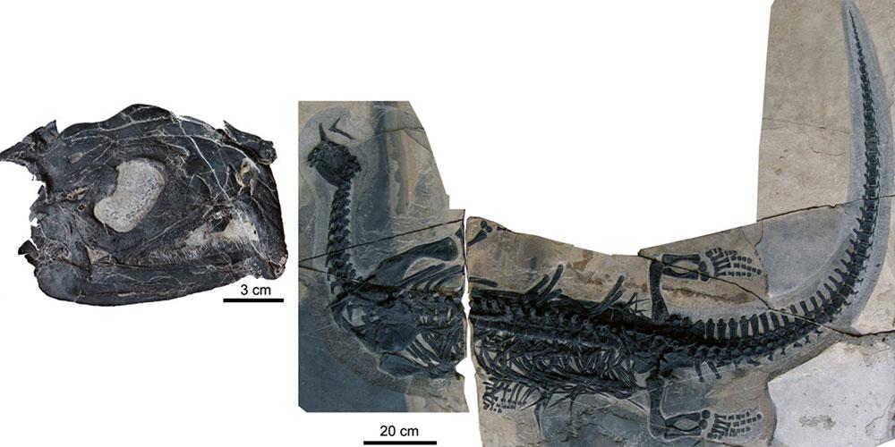 Atopodentatus unicus – craniul și scheletul complet