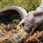 Un piton înghite un crocodil întreg (imagini și video)