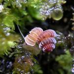 Micro-bijuterii, noi specii de melci deja pe cale de dispariție