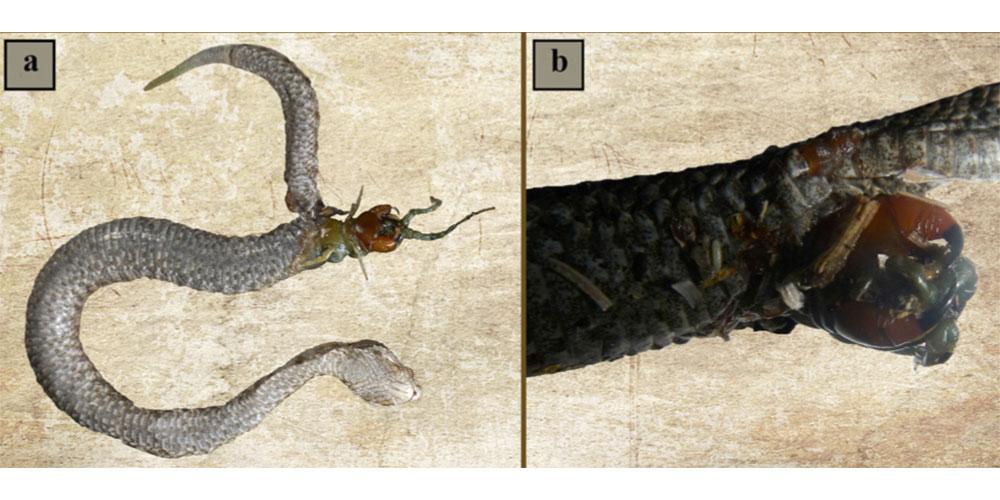 viperă cu corn