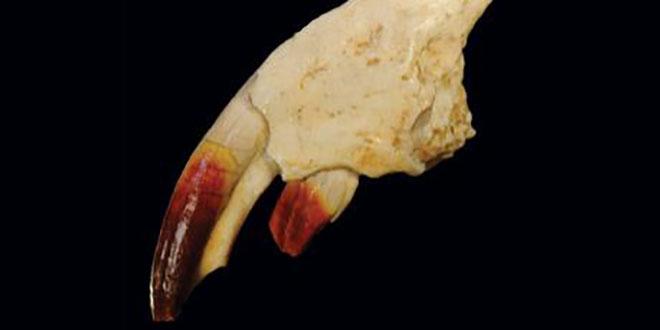 dracula mammal