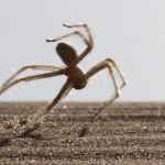 Cebrennus rechenbergi – păianjenul flic-flac