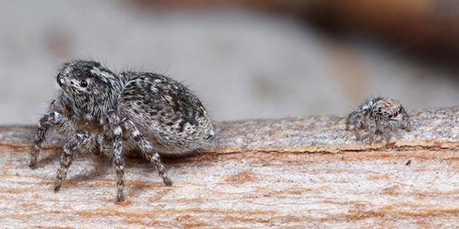 păianjen păun
