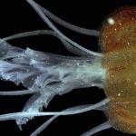 Pelagia benovici – o nouă specie de meduză în Marea Mediterană