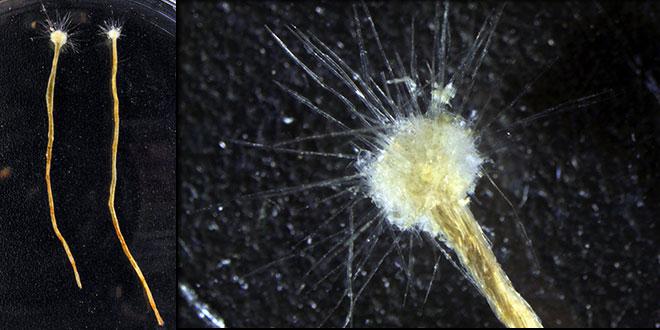 Spiculosiphon oceana