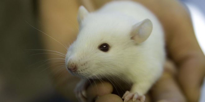 white lab mouse