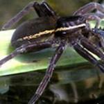 Păianjenii care mănâncă pești sunt răspândiți în întreaga lume