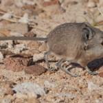 """Macroscelides micus – o nouă specie de """"șoarece elefant"""""""