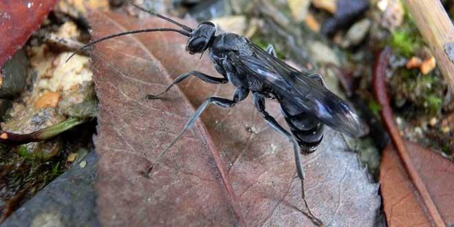 bone-house wasp