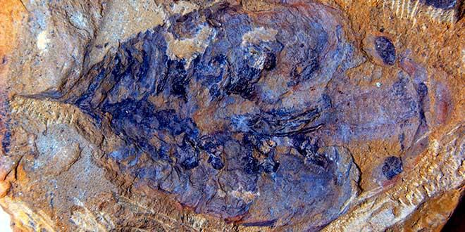 Lyrarapax unguispinus fosil