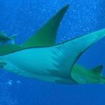 Mobula tarapacana este printre cei mai buni scufundători oceanici