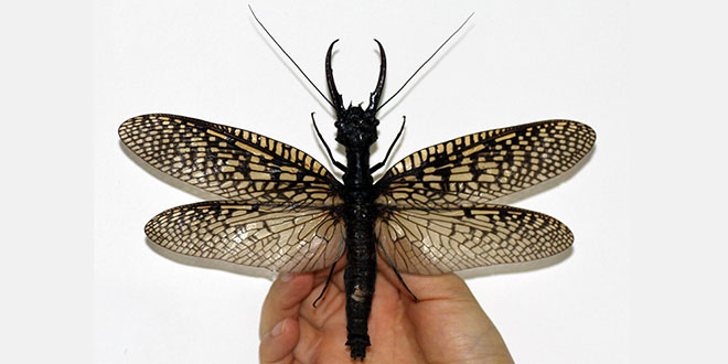 Cea mai mare insectă acvatică