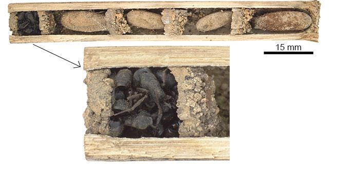 Deuteragenia ossarium