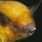 Myotis midastactus, o nouă specie de liliac auriu în Bolivia