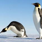 Palaeeudyptes klekowskii – cel mai mare pinguin care a trăit vreodată