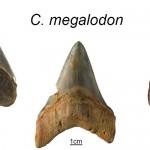 Carcharocles megalodon – cel mai mare rechin a dispărut acum 2,6 milioane de ani