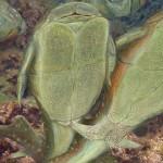 Microbrachius dicki – primele animale cunoscute să facă sex