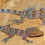 Paroedura hordiesi – o nouă specie de gecko din Madagascar