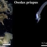 Osedax priapus – viermii care mănâncă oase uimesc din nou