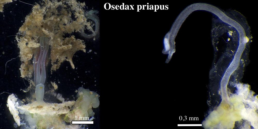 Osedax