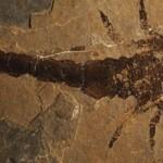 Eramoscorpius brucensis – scorpionul care a ieșit din apă