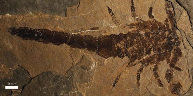Eramoscorpius brucensis