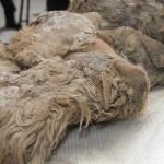 Sasha, primul pui de rinocer lânos descoperit în Siberia