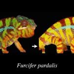 Cameleonii își modifică culoarea folosind nanocristale (video)