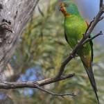 Lathamus discolor, papagalul rapid ar putea să dispară