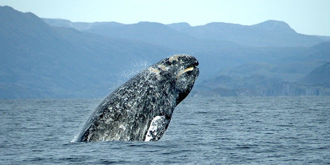 balena gri