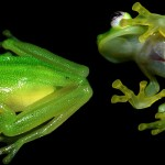 Hyalinobatrachium dianae – o nouă broscuță de sticlă
