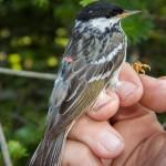 Setophaga striata, o mică pasăre cântătoare, zboară 3 zile fără oprire