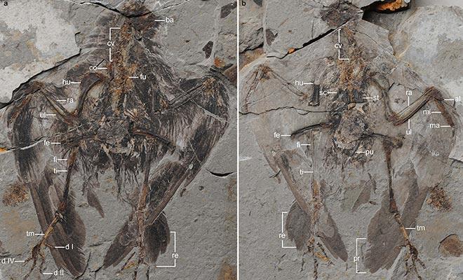 Archaeornithura holotype