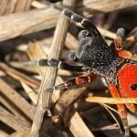 Eresus hermani – nou păianjen buburuză descoperit în Ungaria