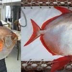 Lampris guttatus – Opah, primul pește cu sânge cald