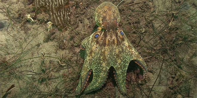 caracatița cu două pete