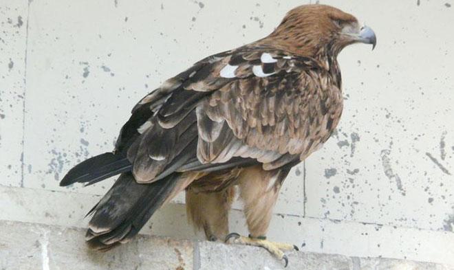 Aquila heliaca (Acvila de câmp sau Acvila imperială)