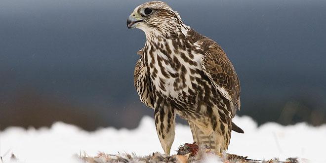 Falco cherrug (Șoimul dunărean sau Șoimul sacru)