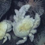 Kiwa tyleri – primul crab Yeti descoperit în Antarctica
