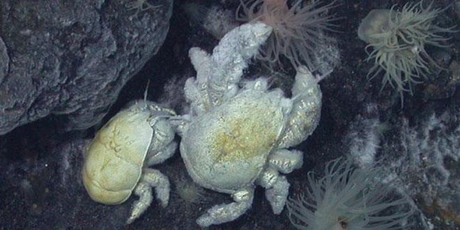 crab Yeti