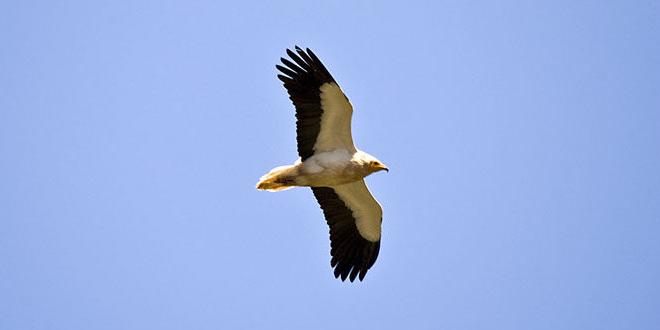 Neophron percnopterus (Hoitarul alb sau Vulturul egiptean)