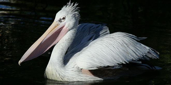 Pelecanus crispus (Pelicanul creț)