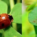 Buburuzele sunt cu atât mai toxice cu cât sunt mai colorate (imagini)