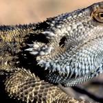 Pogona vitticeps – dragonul bărbos își schimbă sexul din cauza căldurii