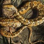 Tetrapodophis amplectus – un șarpe patruped naște controverse